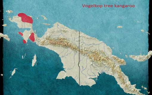 Vogelkop tree kangaroo